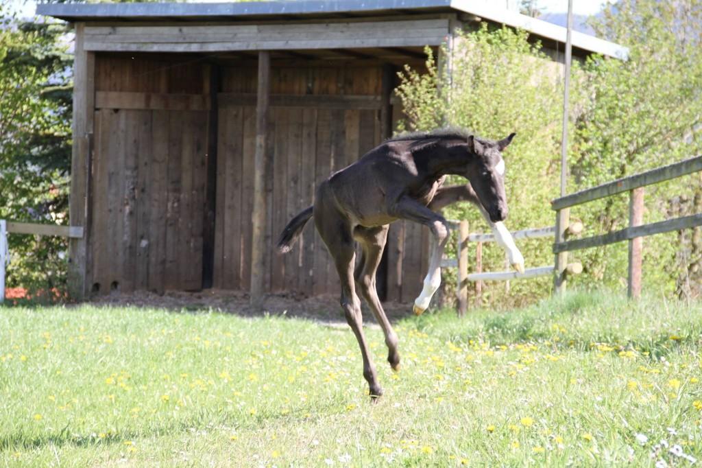 wenige Tage altes Fohlen tobt ausgelassen auf der Weide - Loesdau Blog