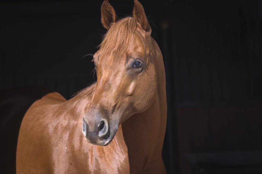 In kühlen, dunklen Behausungen können sich Pferde am besten von Insekten erholen.