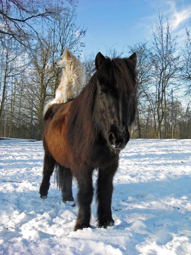 Pferdekrankheiten wie Husten sollten sofort behandelt werden.