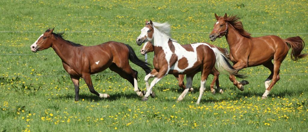 Für Pferde gibt es nichts Schöneres, als raus auf die Weide. Aber bitte Vorsicht beim Anweiden und der Pferdefütterung! Fotolia@zuzule
