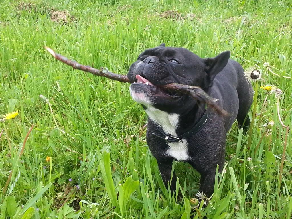 Französische Bulldogge spielt Stöckchen