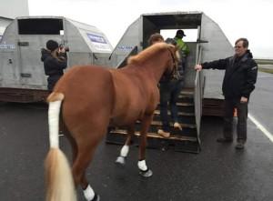 Islandpferd importieren: Das beschlagene Pferd wird mit eingewickelten Eisen verladen.