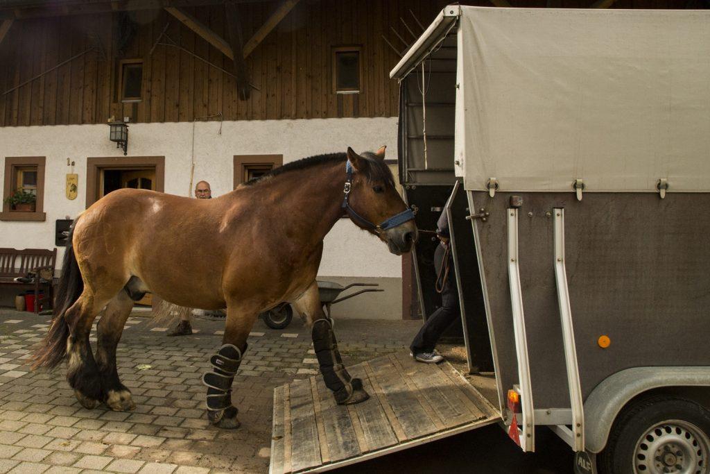 Kaltblut steigt in Pferdeanhänger