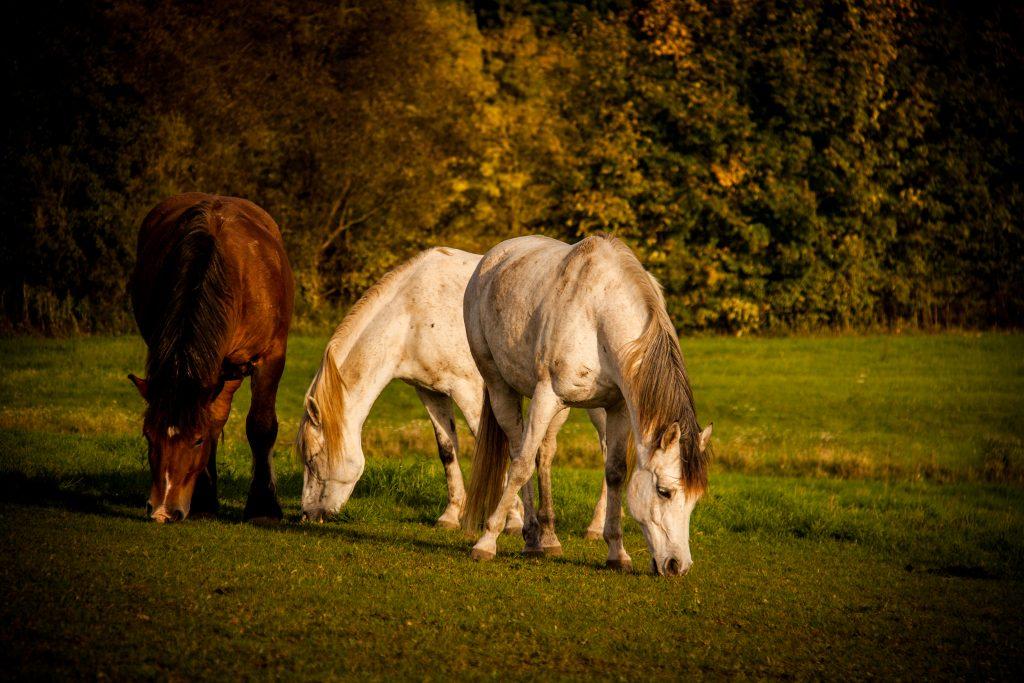 verschiedene Pferde beim Grasen