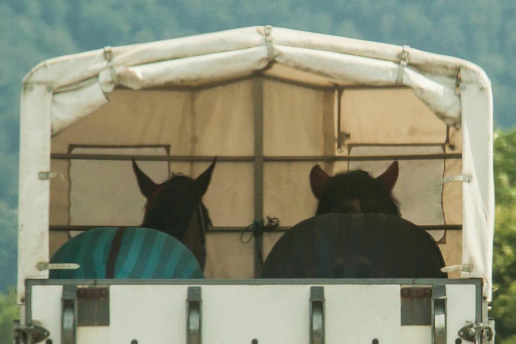 Mit dem Pferd verreisen - Zwei Pferde im Anhänger