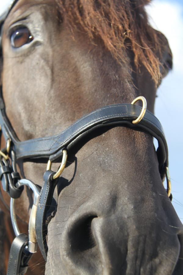 Das-Micklem-Multibridle-besitzt-einen-Ring-am-Nasenriemen