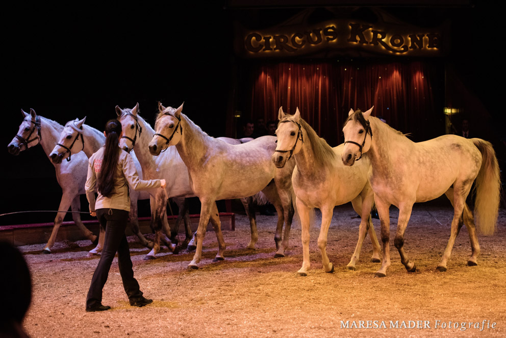 Araberhengste in der Manege des Circus Krone