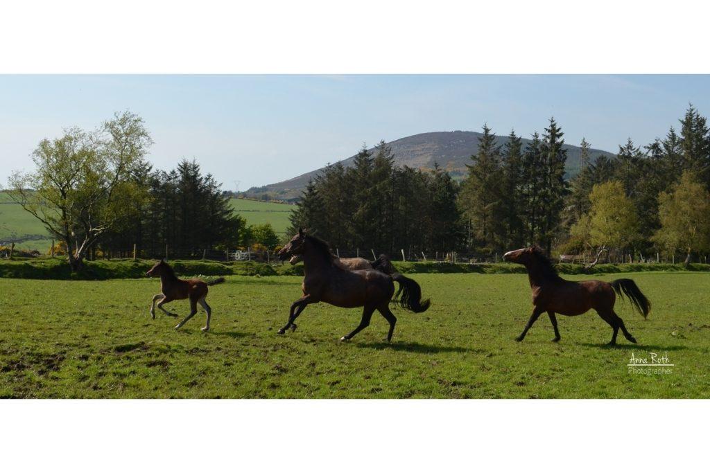 galoppierende Pferde auf der Weide
