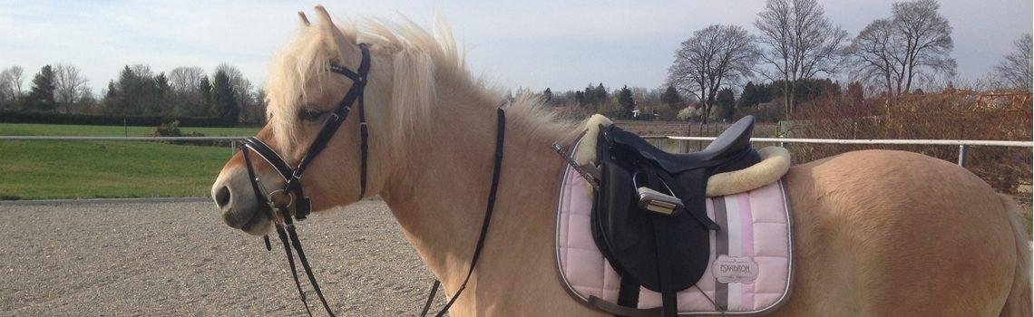 Die Knebeltrense: sanfte Ausbildung junger Pferde