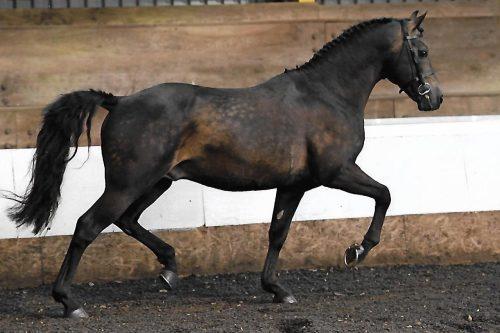 Pferd im Freilauf in der Halle
